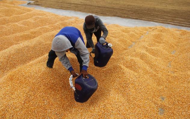 Petani-menjemur-jagung