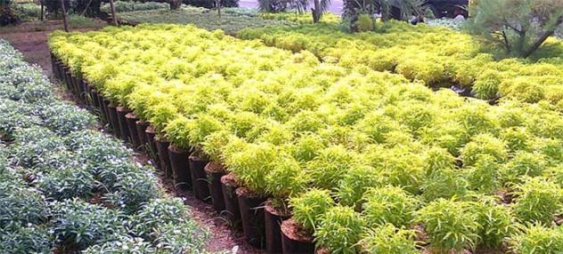 tanaman-brokoli-kuningn