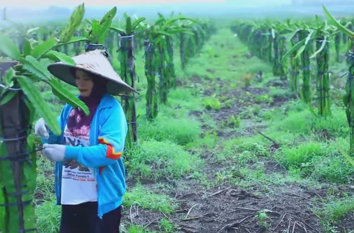 Cerita Sukses Pengusaha Kebun Buah Naga, Pak Wayan Supadno 2
