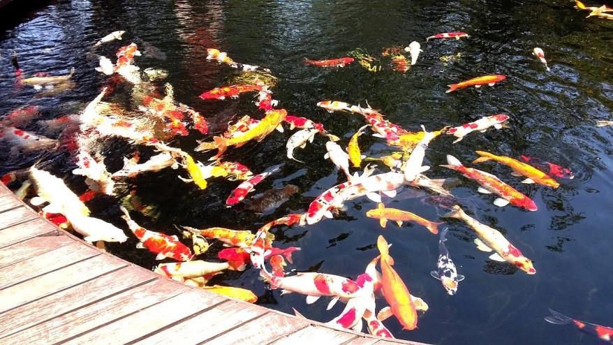 Tips Cara Mencegah Ikan Koi agar Tidak Mudah Mati